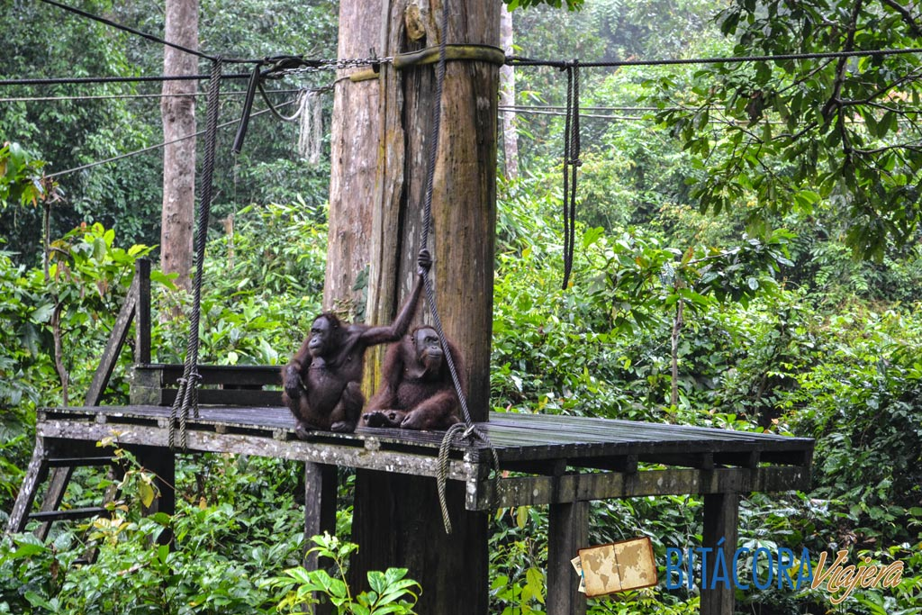 Orangutanes en Borneo (2)